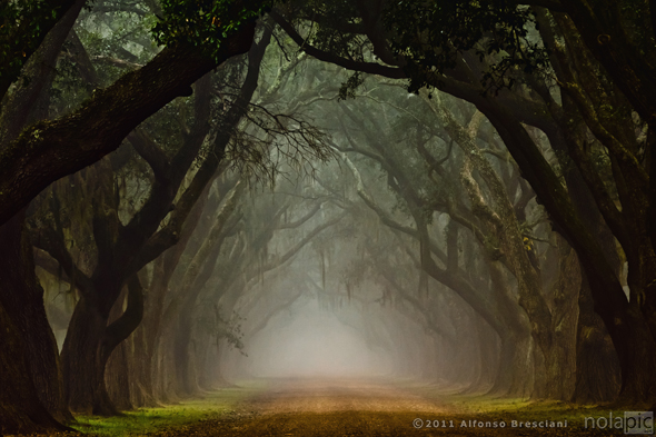 fog live oaks scary trees llouisiana prints for sale
